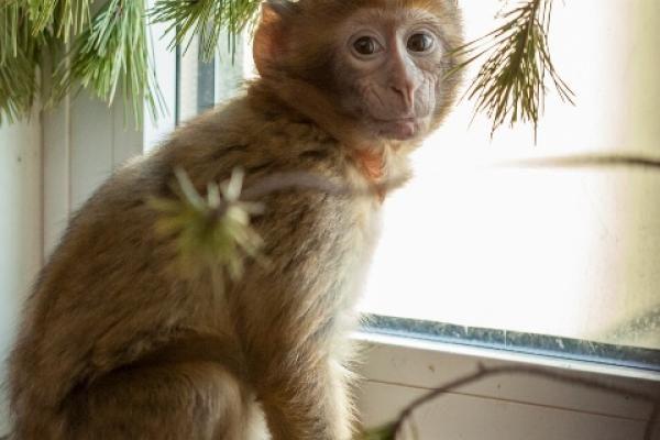 Baby-berber Juma vr, 30/01/2015 Tot nu toe gered Juma werd eenzaam op straat gevonden in een buitenwijk van Parijs. Hij is waarschijnlijk een slachtoffertje van de illegale handel. Baby-berbers worden door handelaren weggeroofd bij hun moeder en verkocht als huisdier, voornamelijk in Europa. Na een korte, vaak traumatische tijd in huis, blijkt maar weer dat apen geen huisdieren zijn… Nu Juma bij ons in AAP Primadomus is, zien we hoe erg hij zijn moeder mist. Hij klampt zich vast aan de…
