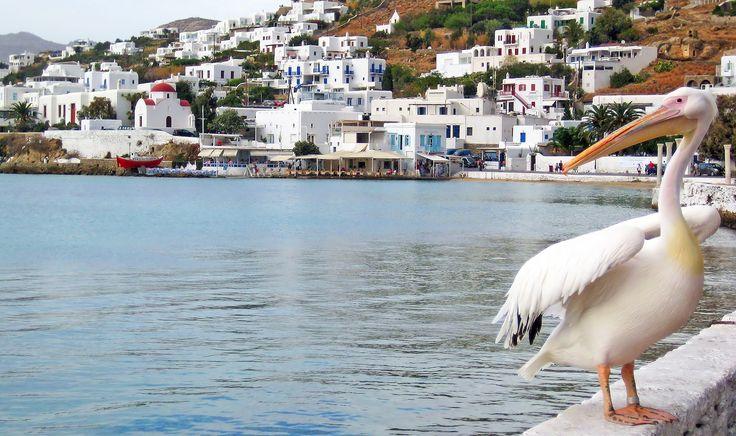 Pelican standing by the sea in Little Venice neighbourhood of Mykonos