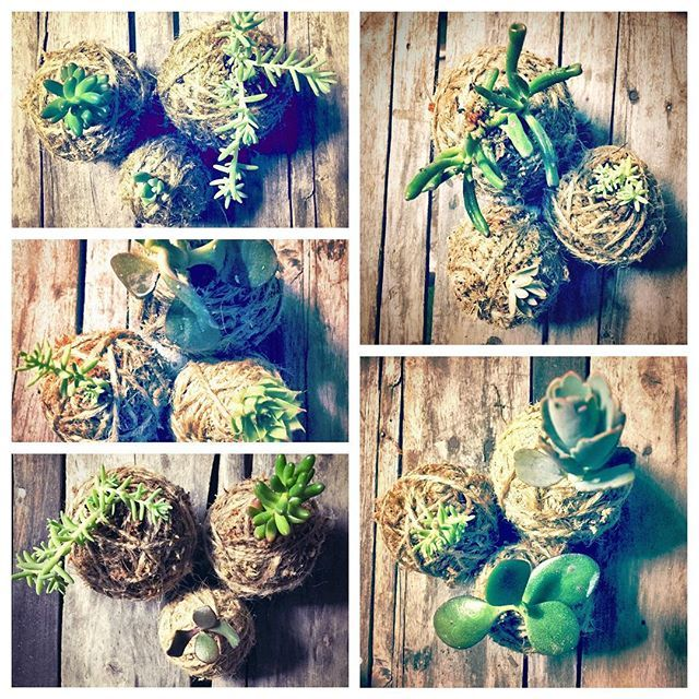 Easy to maintain, suitable for outdoor or indoor use, Kokedamas are a perfect Christmas gift! They can be hanged as well.  They can be customised with different colours.  Contact me for more info :-)  #kokedamas #mossball #minikokedama #kokedama #christmas #christmasgift #outdoorplants #indoorplants #japanesestyle #diy #succulent #plant #succulentplant #cactus #moss #infinityecofashion #handmade #sydney #sydneymade