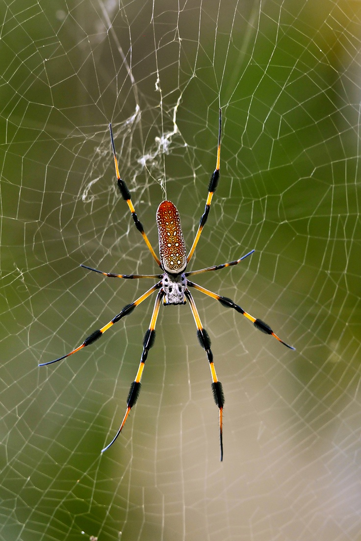 banana spider in its web by summicron | Animals | Pinterest