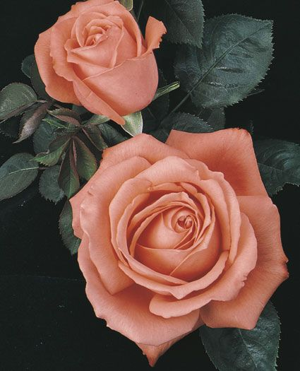 Tropicana Hybrid Tea Rose - Large shapely blooms of clear coral orange will illuminate your garden with their warm colors and sweet fragrance.