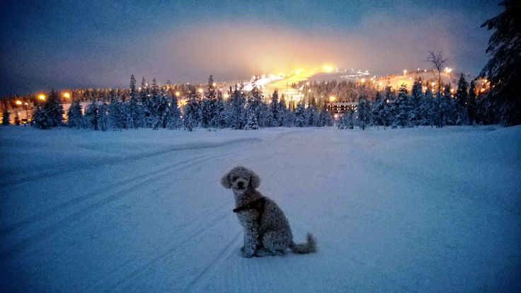 Tobbe the Poodle at Ruka, Finland at Christmas Eve <3