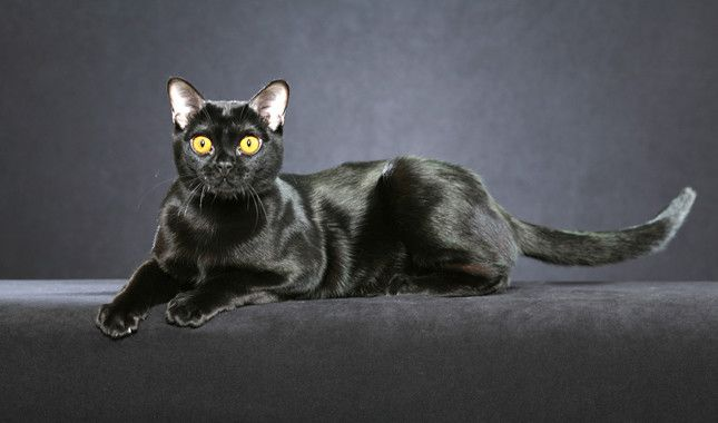 Black Bombay Cat Laying Down Cat Breeds Pretty Cats Pets
