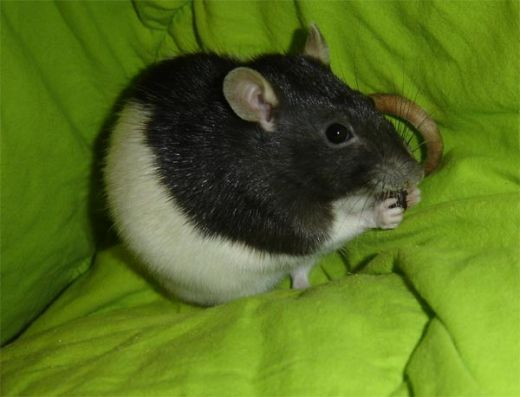 Do you have a pet rat? Thinking about getting one? Know someone who has one? Either way, in any sense, rats will enjoy many different treats and foods, but as always, there are some better than others.   First off treats should never encompass more...