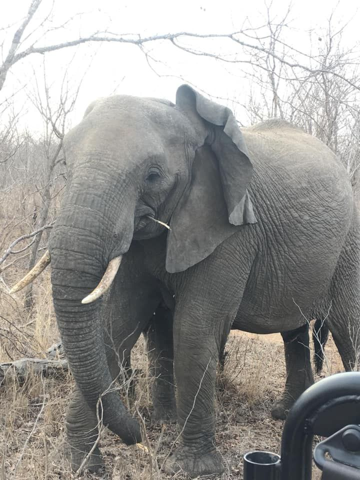 Crossed Paths With This Beauty On Our African Safari Elephant