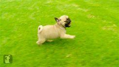 Estos cachorros pug corriendo. | Los 40 mejores GIFs de perros