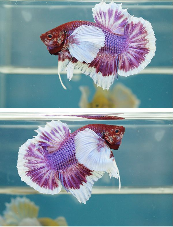 Need a name for a betta fish my horse forum for Good betta fish names