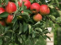 Is it kosher to graft two different trees together?: Apples Trees, Health Fitness, Gala Apple, Pumpkin Patch, Honeycrisp Apple, Real Food