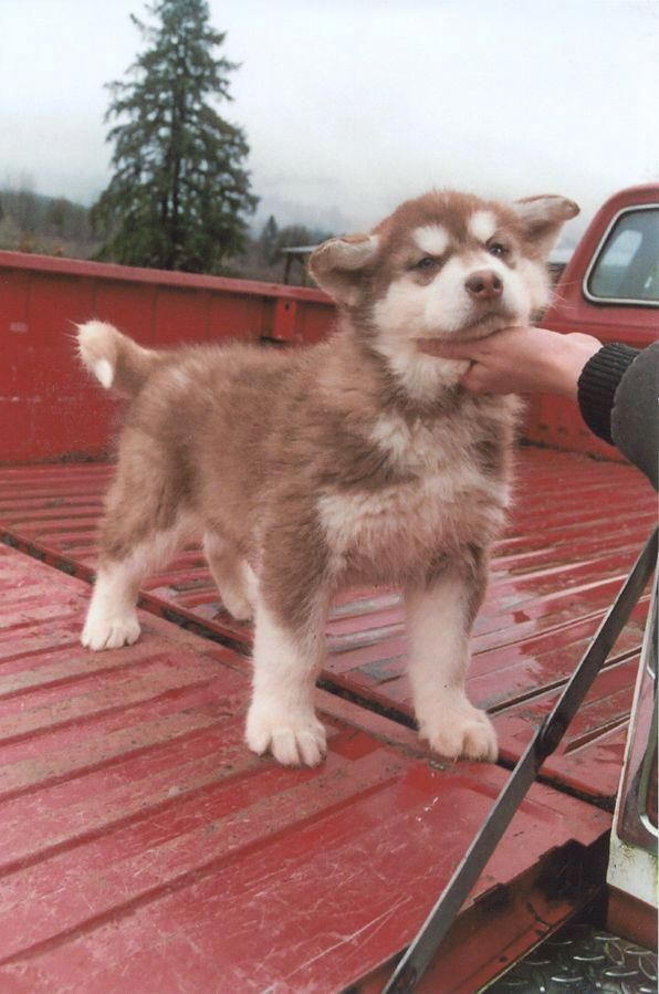 Things We All Love About The Athletic Siberian Husky Dogs