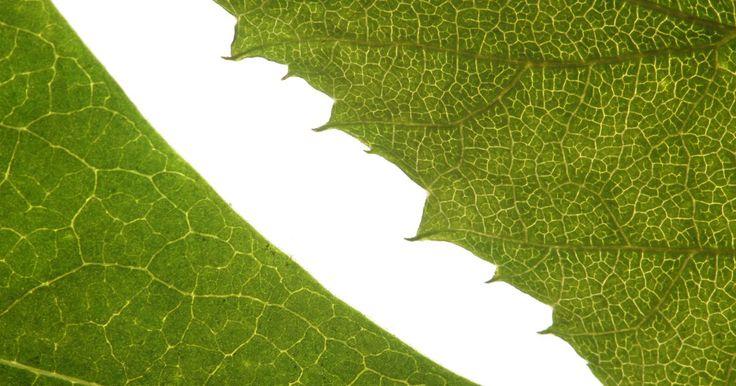 Cómo hacer un proyecto de una célula vegetal con plastilina. Cuando enseñas a niños pequeños acerca de la botánica básica y la anatomía de las plantas, puedes hacer la lección más interesante y entretenida usando plastilina para construir el modelo de una célula vegetal. Todo lo que necesitas para hacerlo puede conseguirse en cualquier juguetería o tienda de artesanías.