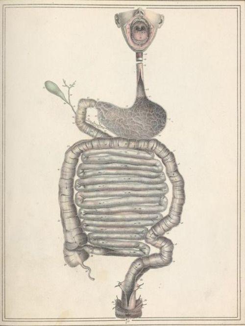 Jules Cloquet and Haincelin - Digestive tract, from Manuel d'anatomie descriptive du corps humain, représentée en planches lithographiées (1825)