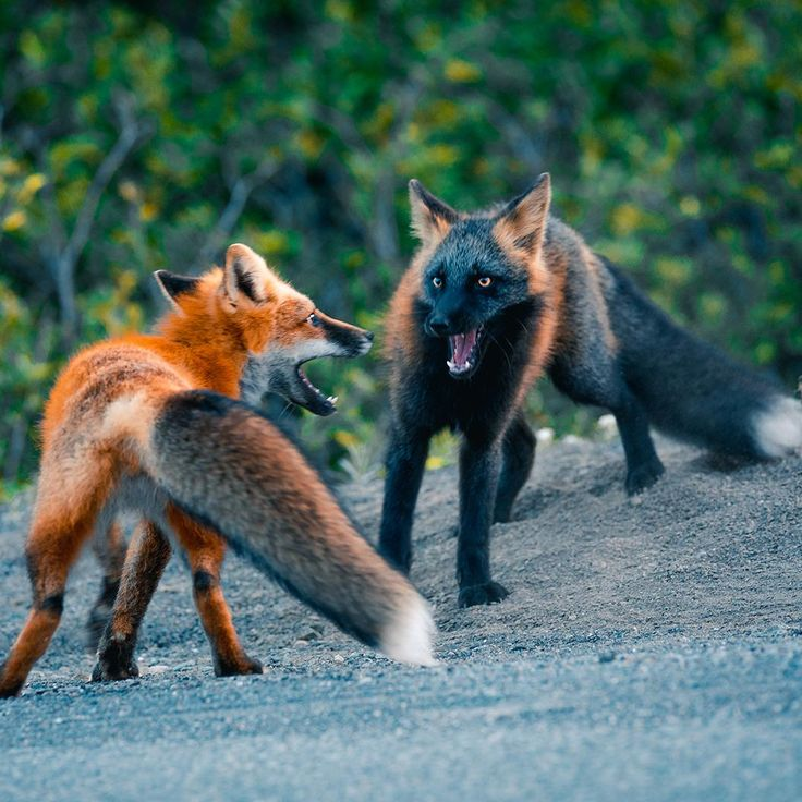 captured this of purple fox and cross fox taking part in struggle #nature #naturephotography …