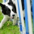 Top 10 Dog Agility Breeds