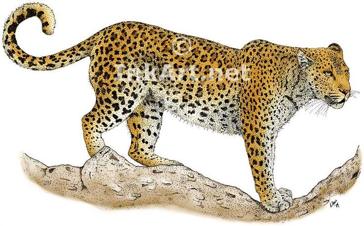Full color illustration of an African Leopard (Panthera pardus)