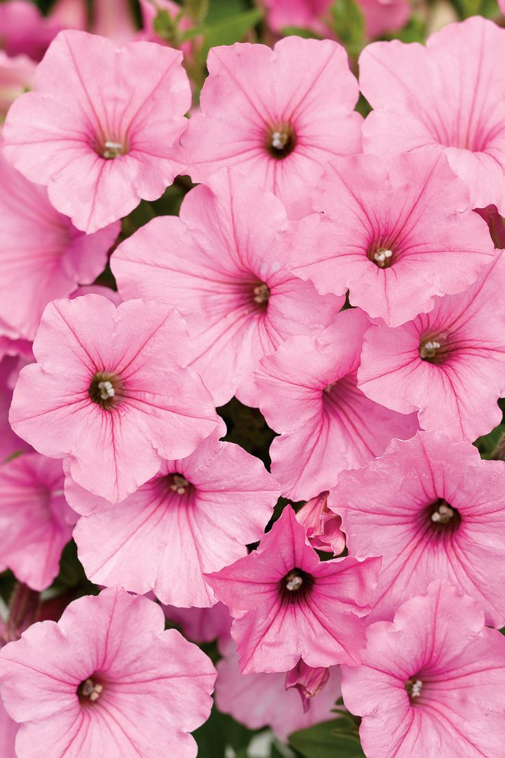 "Supertunia Vista Bubblegum is many landscapers go-to choice for use in the ground. Its amazing spread of 24--48"" per plant, and a height of 24"" has won more awards over the years than we can count!  http://emfl.us/mwLd"