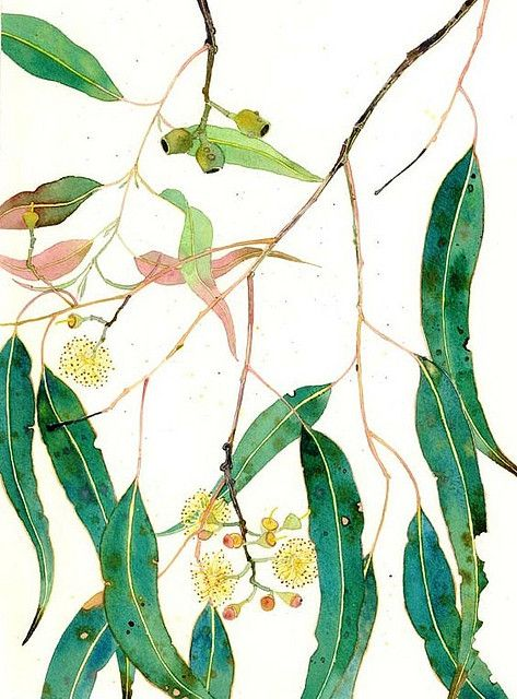 eucalyptus leaves and flowers. gum leaves, nuts and blossoms watercolour on paper. Mango Frooty
