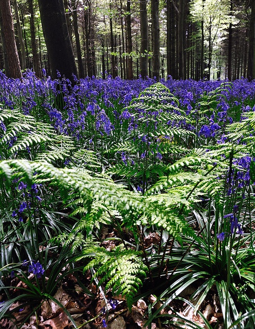 Woodlands with ferns, bluebells, moss and leaves