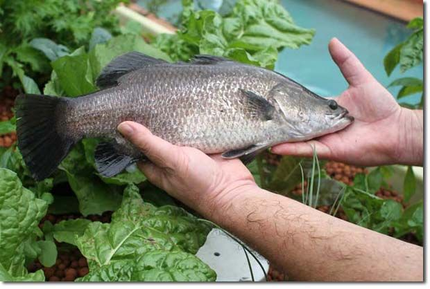 179 best garden aquaponics images on pinterest for Aquaponics fish for sale
