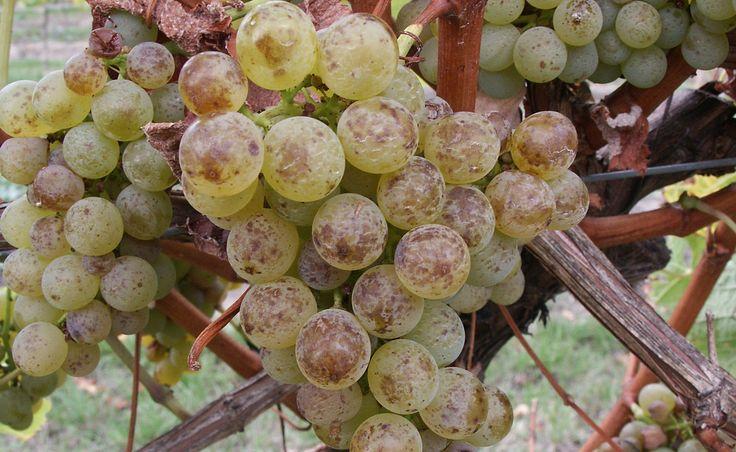 Sauvignon blanc my sweet