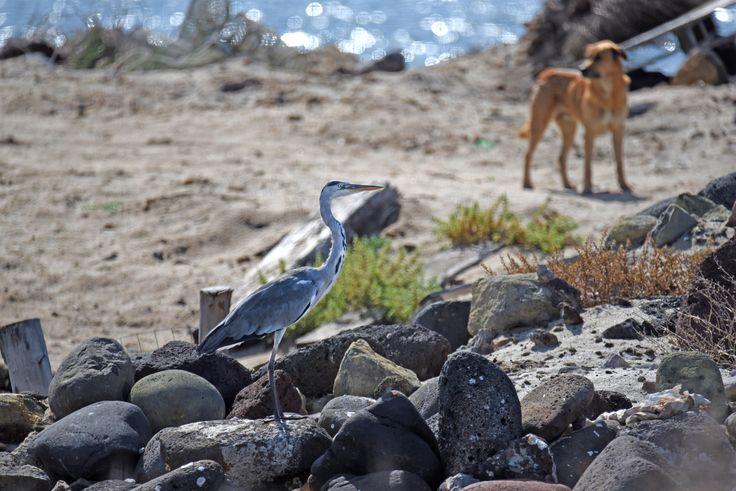 Allo stagno di S'Ena Errubia - due cani ed un Airone cenerino - 11 Ott. 2015 - Nikon D750 + Tamron 160/600 mm - f/6.3 1/2500 mm. ISO 360 a 600 mm a 59,6 m. di distanza - #guidofrilli