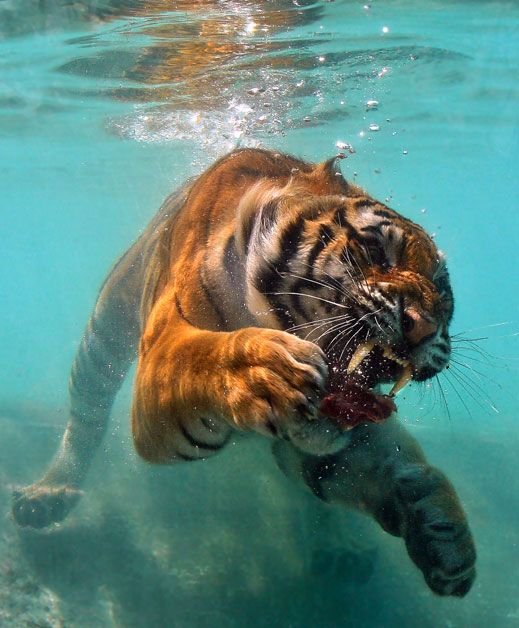 A tiger underwater by Pam Wood (Watsonville, CA).   Photographed July 2008, Vallejo, CA