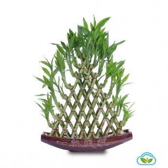 Lucky Bamboo plant #luckybamboo                                                                                                                                                                                 More