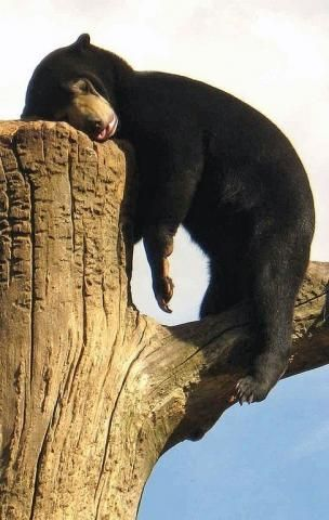 Cute bear nap of the day!