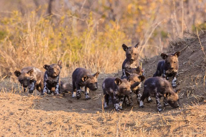Precious endangered pups on our reserve!