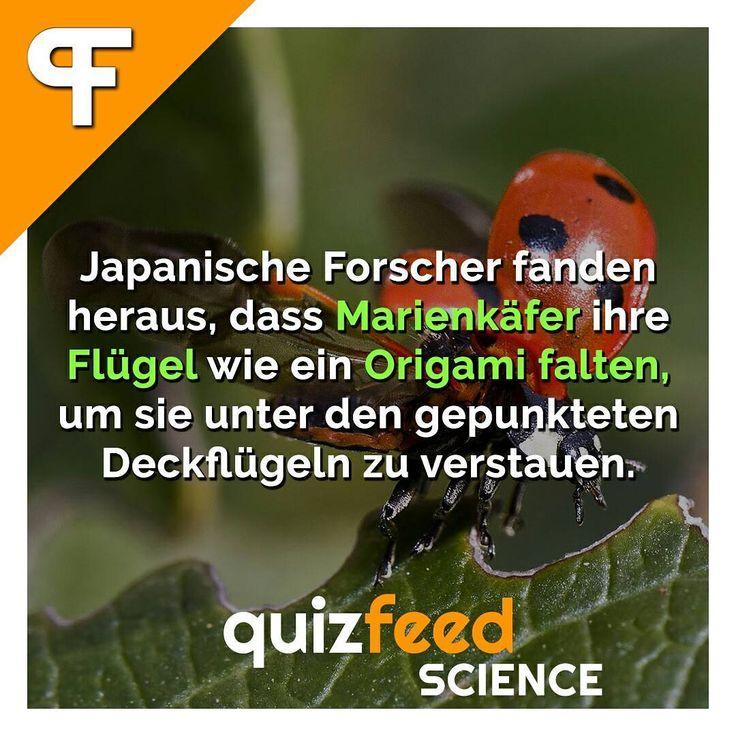 Japanische Forscher fanden heraus, dass Marienkäfer ihre Flügel wie ein Origami falten, um sie unter den gepunkteten Deckflügeln zu verstauen. Wissen clever verpackt! . #marienkäfer #wunderdernatur #Natur #tier #tiere #käfer #technik #flügel #origami #forschung #studie
