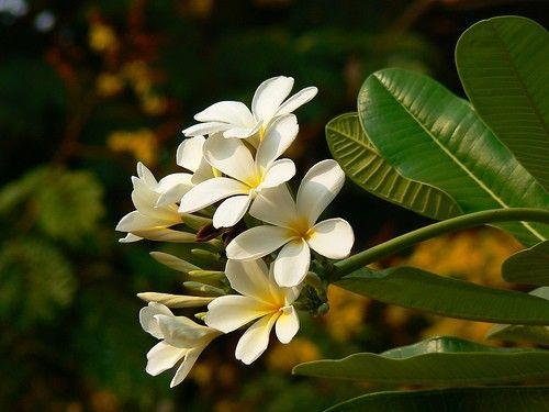 jardin exteriores imagenes : Flores   Alelí