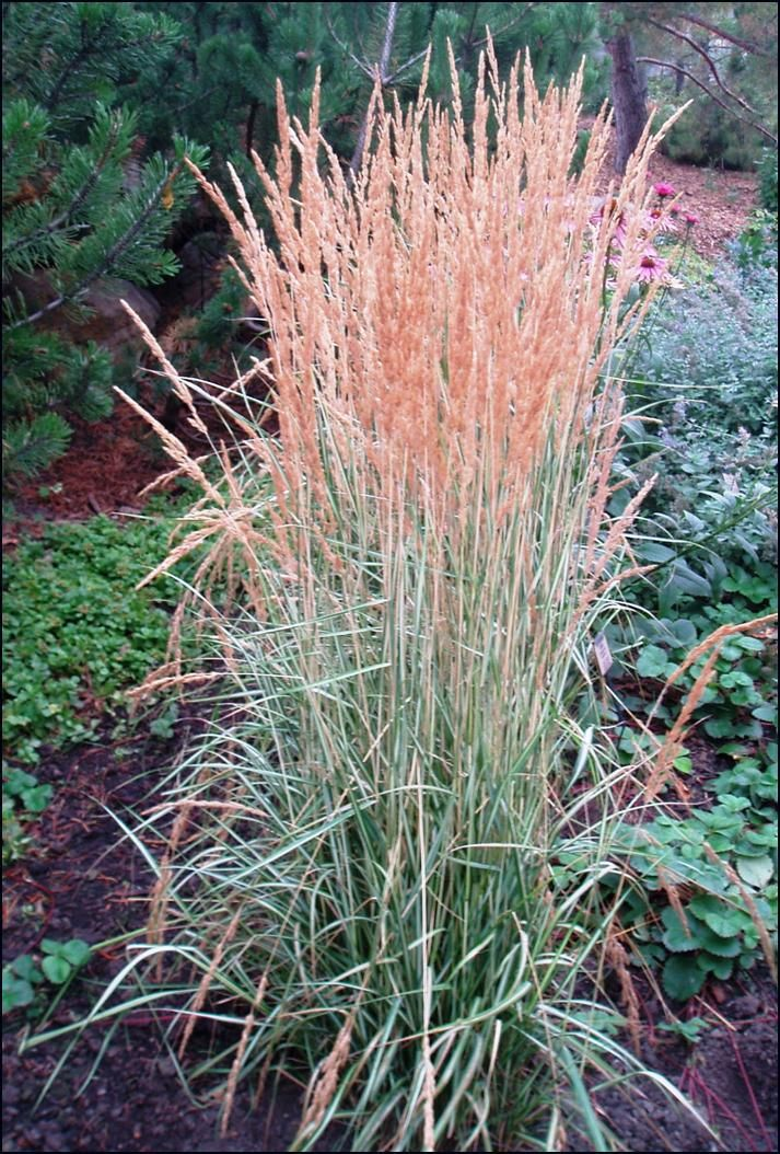Perennial Grasses For Alberta : Best images about plants to grow on sun
