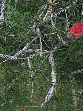 Callistemon rigidus (Stiff Bottlebrush)