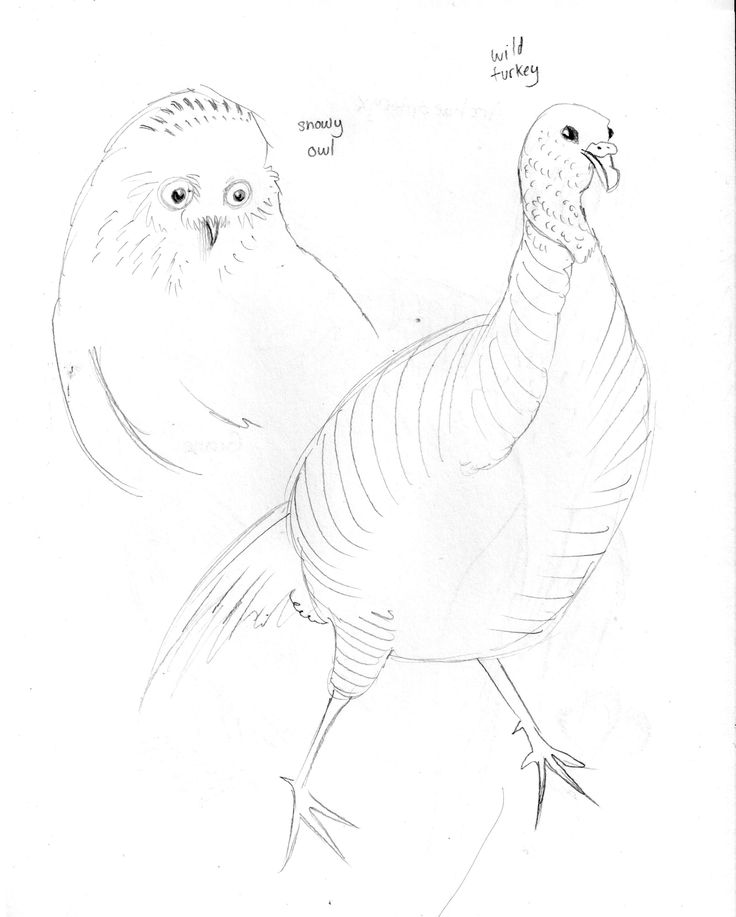 Canadian Museum of Nature Sketches by Jenny Owens: Snowy Owl and Wild Turkey