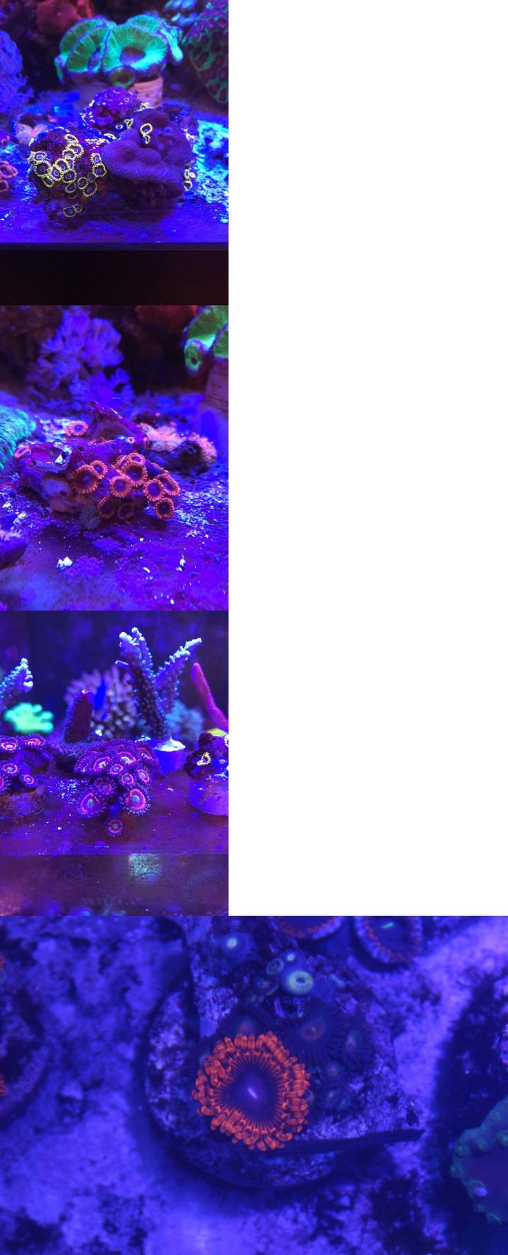 Coral and Live Rock 177797: Live Coral Zoanthid 4 Pack Mini Colonies Blue Hornet Lunar Eclipse ??? -> BUY IT NOW ONLY: $150 on eBay!