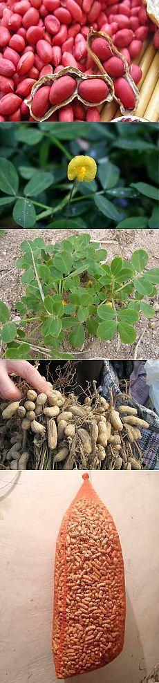 Выращивание арахиса на огороде - посадка, уход, уборка | Мое подворье