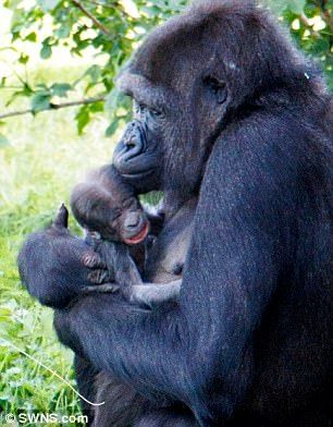 Mommy's girl! Touni arrived as a seven-year-old female in October 2015 from La Vallee des Singes Zoo in France