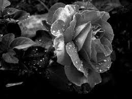 black and white picture of roses