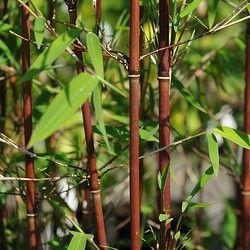 Le Bambou Fargesia Red Panda : un bambou non traçant et très décoratif Très interessante variété, le Bambou Fargesia 'Red Panda' estBambou non traçant comme les autres Bambous Fargesias.On appelle parfois le Bambou Fargesia 'Red Panda'