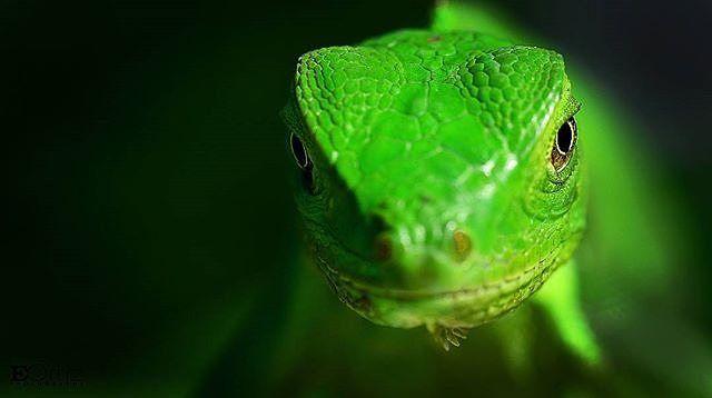 """Muy probablemente puedas reconocer una iguana al verla verdad?  Seguro que sí porque las iguanas son muy conocidas y lo más probable es que las hayas visto. Tal vez no te sepas su nombre científico pero es bastante sencillo así que si quieres quedar como todo un naturalista solo debes llamarla """"Iguana iguana"""". Algo que tal vez no sepas es que en nuestro país existe una costumbre que está haciendo bastante daño a las iguanas y comprometiendo su conservación.  Es práctica común sobre todo en…"""