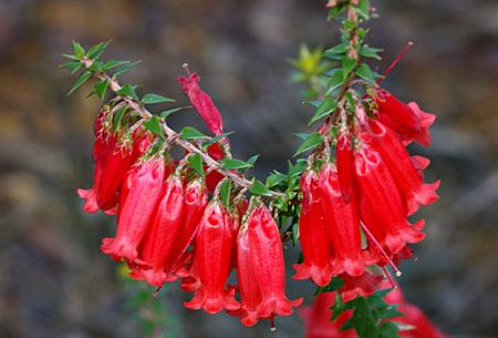 The 'Bega' form of Epacris impressa