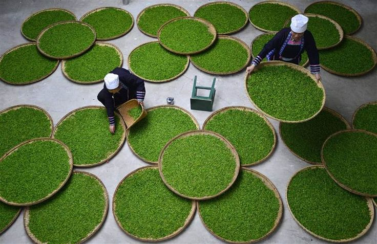 Chinese farmers pick Longjing tea leaves at a tea plantation in Longjing Village on Friday in Hangzhou, China.