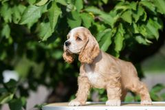 Red And White American Cocker Spaniel Puppy Download From Over 68 Million High Quality St Cocker Spaniel Puppies American Cocker Spaniel White Cocker Spaniel