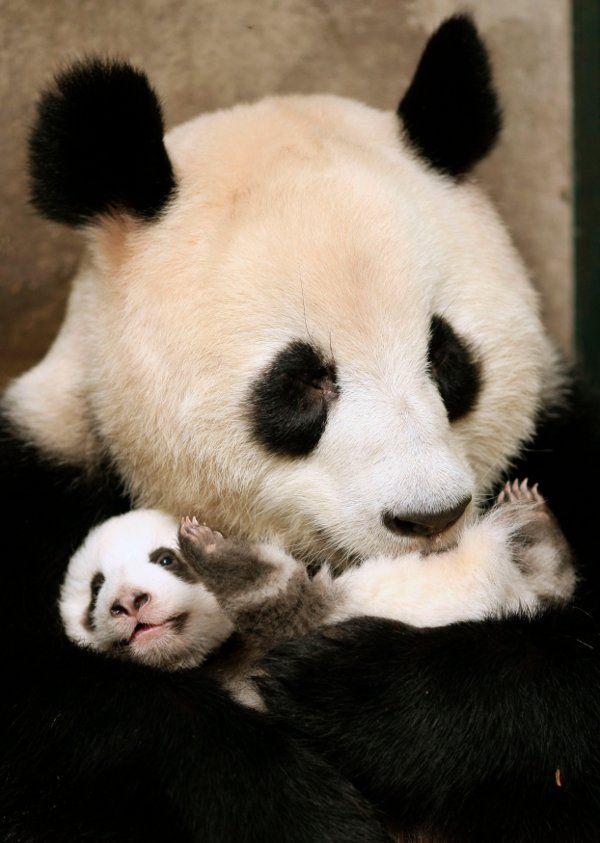 Quero ser uma filhote de panda!