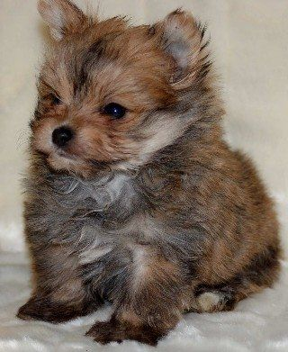 yoranian puppies - Yorkshire Terrier and Pomeranian mix. Just like my baby dog Sephera.