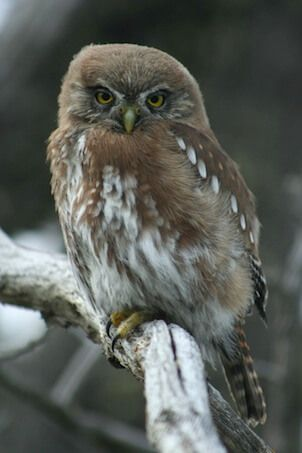 The austral pygmy owl - another beautiful creature living in #TorresDelPaine National Park! #Chile #Patagonia