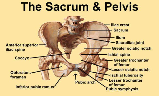 Image 1 Diagram Of Pelvis And Sacrum With Bony Landmarks Identified