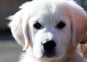 English Creme Golden Retriever pup. Cute!