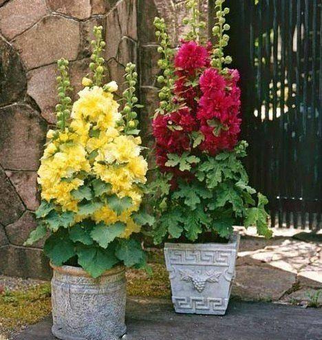Mallow, flowers in pots in the garden