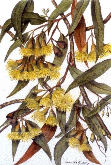 Eucalyptus petiolaris - Water Gum