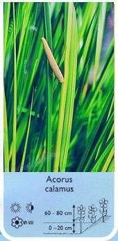 Acorus calamus(tatarak zwyczajny) - Rośliny wodne, Lilie wodne   Sklep